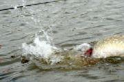 In Bewegung - Trolling auf Hecht mit totem Köderfisch